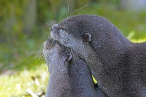 clawed-otter-2146072_1920